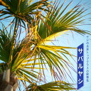 ヤシの木 【 サバルヤシ 】 根巻き苗またはポット苗 常緑樹 観葉植物 インテリアプランツ 耐寒性 シンボルツリー