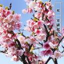桜 苗木 さくら 寒緋桜 (かんひざくら) 1年生 接ぎ木 苗 庭木 落葉樹 シンボルツリーサクラ 苗