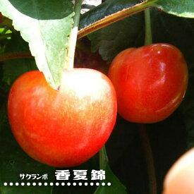 さくらんぼ 【 香夏錦 】 1年生 接ぎ木 苗 サクランボ 果樹苗木 果樹苗