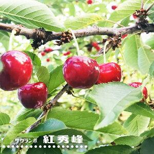 さくらんぼ 【 紅秀峰 】 1年生 接ぎ木 苗 サクランボ 果樹苗木 果樹苗