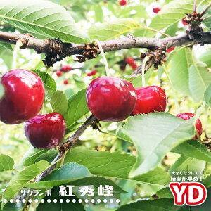 さくらんぼ YD紅秀峰 1年生接木苗 サクランボ 果樹苗