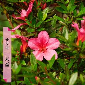 サツキ 12本セット 【送料無料】 大盃 ( ピンク ) 4号ポット苗
