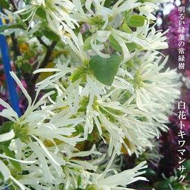 白花トキワマンサク H0.2m ポット苗 生垣 目隠し グランドカバー 低木 庭木 常緑樹