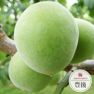 【豊後梅 (ぶんごうめ)】 実梅 うめ 1年生 接ぎ木 苗木