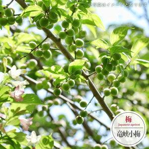 【竜峡小梅】 実梅 うめ 1年生 接ぎ木 苗木