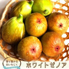 【 イチジク 苗木 】 ホワイトゼノア 1年生苗 無花果 果樹