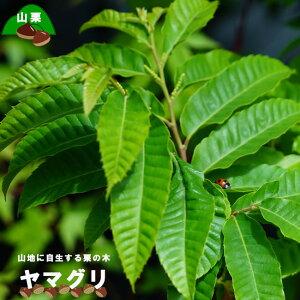 【栗苗木】 ヤマグリ(山栗) 【里の木シリーズ】 柴栗とも呼ばれる自生の栗の木 庭木 落葉樹