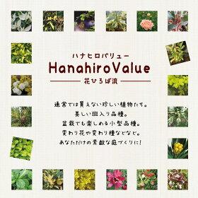 【ハナヒロバリュー】ツバキ菊花茶3.5号ポット苗挿し木