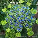 【ハナヒロバリュー】 アジサイ 大島緑花 3.5号ポット苗