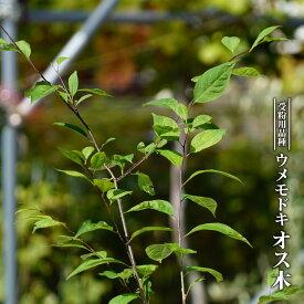 【ハナヒロバリュー】 ウメモドキ オス木 3.5号ポット苗