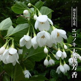 【ハナヒロバリュー】 エゴノキ 大花芳香 3.5号ポット苗