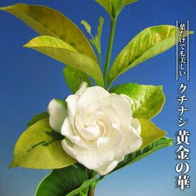 【ハナヒロバリュー】 クチナシ 黄金の華 3.5号ポット苗