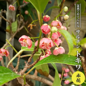 【赤花トキワサルナシ】 常緑性 3.5号ポット苗 【ハナヒロバリュー】