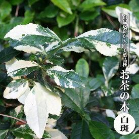 【ハナヒロバリュー】 お茶の木 白斑 3.5号ポット苗