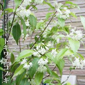 【ハナヒロバリュー】 常緑エゴノキ(トキワエゴノキ) 3.5号ポット苗