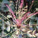 赤花 斑入り ヒイラギナンテン 宝珠錦 3.5号ポット苗