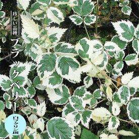 【ハナヒロバリュー】 ブラックベリー 白フクリン斑 3.5号ポット苗