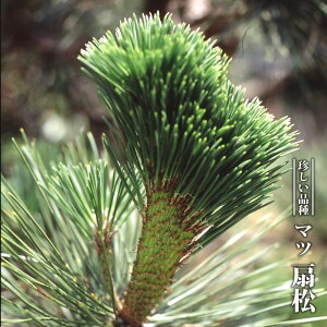 マツ 黒松 扇松 3.5号ポット苗 【ハナヒロバリュー】