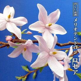 【ハナヒロバリュー】 エゴノキ メリオデンドロン ロゼア 3.5号ポット苗