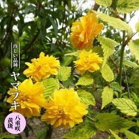 【ハナヒロバリュー】 ヤマブキ 八重咲 黄斑 3.5号ポット苗