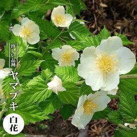 【ハナヒロバリュー】 ヤマブキ 白花 3.5号ポット苗