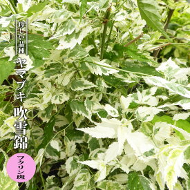 【ハナヒロバリュー】 ヤマブキ 吹雪錦 フクリン斑 3.5号ポット苗