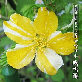 【ハナヒロバリュー】 ヤマブキ 吹雪錦 3.5号ポット苗