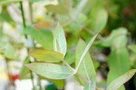ブルーガムの葉