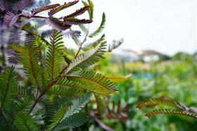 """アカシアの木""""ゴールデンミモザ""""ミモザアカシア3号ポット苗シンボルツリー庭木常緑樹(ギンヨウアカシア)"""