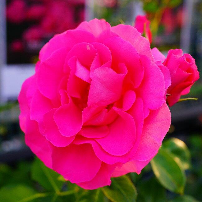 【バラ苗】 つるローズうらら 大苗 つるバラ 【京成バラ】 ピンク 薔薇 バラ苗木