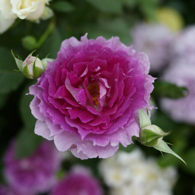 【バラ苗】 シェエラザード 大苗 木立バラ 【ロサオリエンティス】 四季咲き ピンク 紫色 バラ苗木
