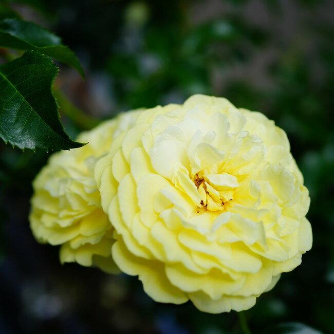 【バラ苗】 ソレロ 大苗 木立バラ 【京成バラ】 四季咲き 黄色 強健 バラ 苗 薔薇 バラ苗木