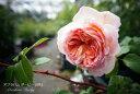 アブラハムダービー イングリッシュ 四季咲き