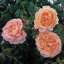 【バラ苗】 アンブリッジローズ (ER) (大輪 イングリッシュローズ ) 輸入苗 6号ポット 大苗 四季咲き オレンジ色 強…