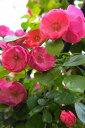 アンジェラ 四季咲き フェンス