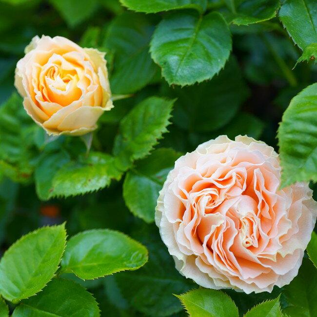 【バラ苗】 アンティークレース 大苗 木立バラ 【京成バラ】 四季咲き オレンジ色 バラ 苗 薔薇