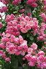 攀登攀登玫瑰玫瑰玫瑰藤安吉拉在车轮 CL) 国内苗株龟分支 6 玫瑰粉红色的鲁棒玫瑰苗