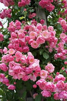 Roses climbing climbing rose rose vine Angela ( in wheels CL) domestic seedlings onae 6 roses pink robust rose seedlings