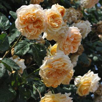 【バラ苗】 アプリコットスカイ 【バルニ】大苗 6号ポット アンズ色 バラ 苗 返り咲き つる性 大輪 薔薇