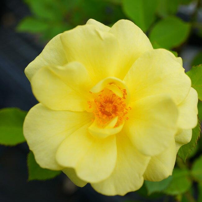 【バラ苗】 アトール99 大苗 つるバラ 【京成バラ】 四季咲き 黄色 バラ 苗 薔薇 バラ苗木