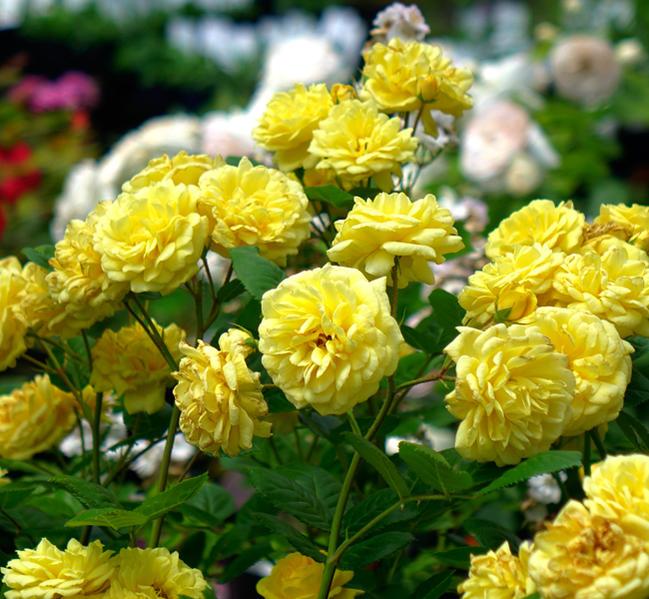 【バラ苗】 ベルロマンティカ 大苗 木立バラ 【京成バラ】 四季咲き 黄色 バラ 苗 薔薇