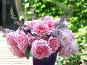 【バラ苗】 ビアンヴニュ 大苗 デルバール (Del) 四季咲き 強香 ピンク 薔薇 バラ苗木
