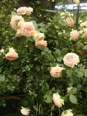 【バラ苗】ブランピエールドゥロンサール大苗つるバラ【京成バラ】白色バラ苗薔薇ダマスク系【予約販売】【2018年9月以降お届け予定】