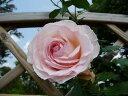 【バラ苗】 ブランピエールドゥロンサール 大苗 つるバラ 【京成バラ】 白色 バラ 苗 薔薇 ダマスク系