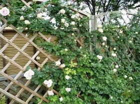 【バラ苗】ブランピエールドゥロンサール大苗つるバラ【京成バラ】白色バラ苗薔薇ダマスク系