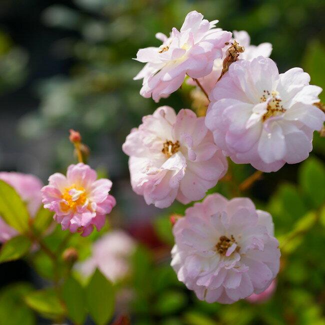 【バラ苗】 ブリーズパルファン 大苗 【バルニ】 ピンク色 バラ 苗 四季咲き つる性 薔薇