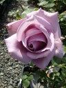 【バラ苗】 ブルームーン 国産苗 大苗 6号ポット 四季咲き 青紫色 強香 強健 バラ 苗 薔薇 np