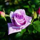 ■送料無料■ 【バラ苗】 つるブルームーン 長尺苗 つるバラ 青紫色 強香 つるばら ブルー系 フルーツ系 【西濃運輸お届け】【北海道・…