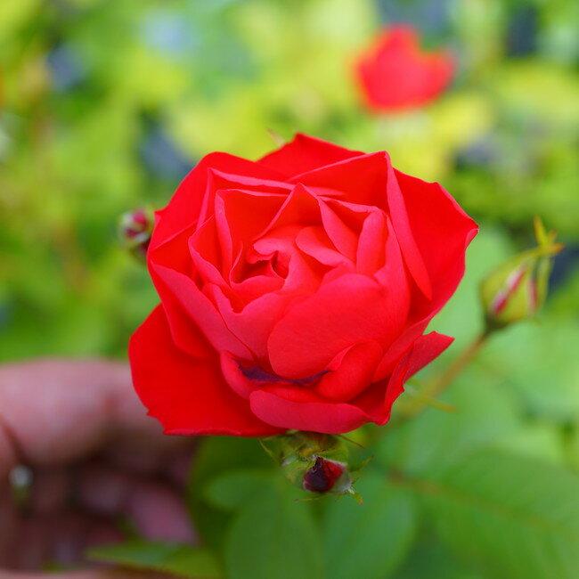 【バラ苗】 チェリーボニカ フロリバンダローズ 【京成バラ】四季咲き カップ咲 赤花 薔薇