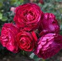 【バラ苗】 アンプラント (Dor) 【国産苗】 大苗 6号ポット 四季咲き 赤色 強香 バラ 苗 薔薇 【大輪 フレンチローズ】